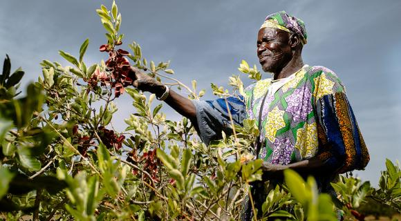 A traditional healer collects cobet fruit to treat malaria, Burkina Faso.  Photo by Ollivier Girard/ CIFOR.